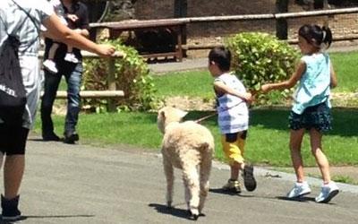 羊のお散歩