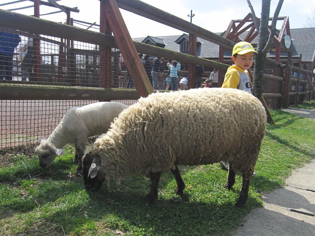 日中は、園内でのんびりお散歩している羊さんたちです。