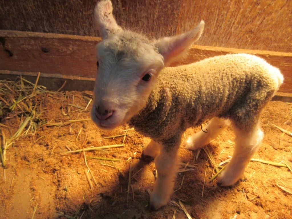 2月3日生まれ・しそ(♀)生まれた翌日の写真ですが、早くもばっちりカメラ目線☆人なつっこい女の子☆