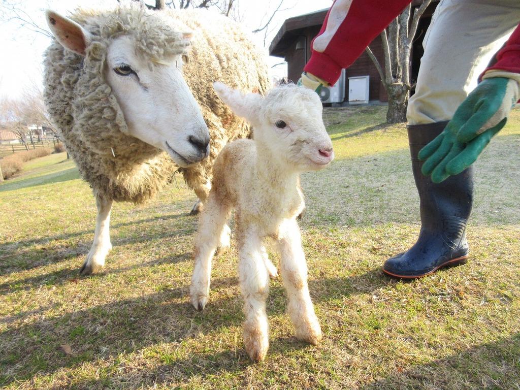 お母さん羊がそっと寄り添っていました★