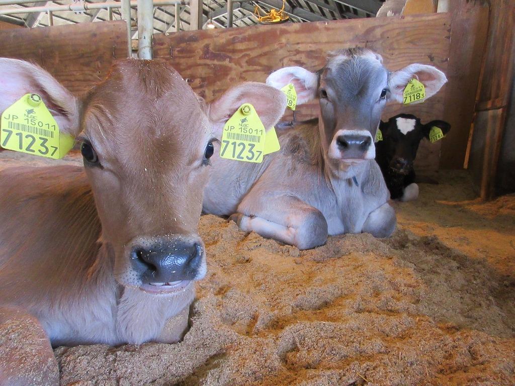 先日産まれた子牛は、子牛房からごらん頂く事ができます☆