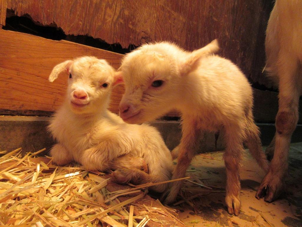 産まれて間もないです♪かわいい双子の子ヤギ❤