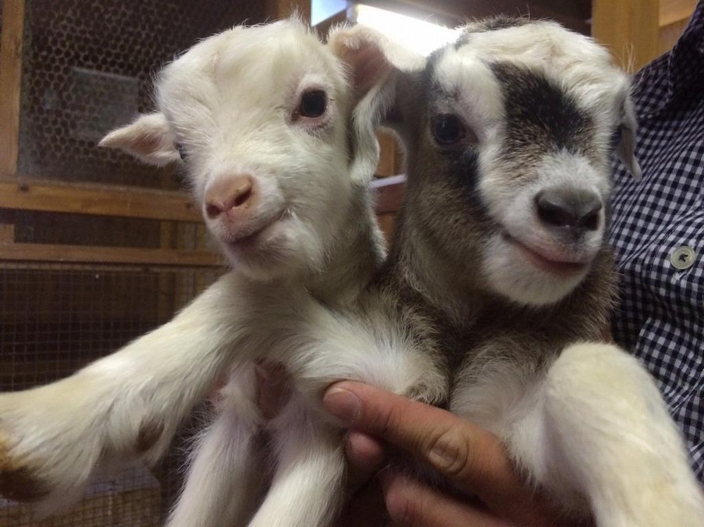 5月6日生まれ ニコルン(♀・左)イチロー(♂・右)同じ日に生まれた2頭は仲良しさんです☆