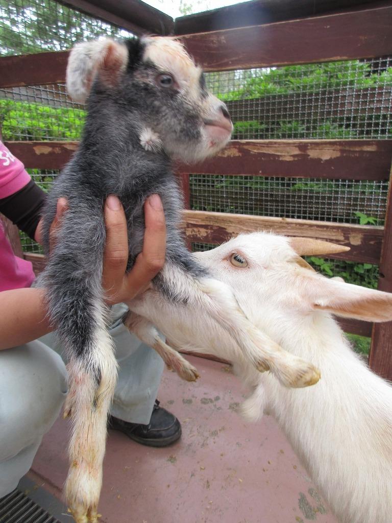 5月8日生まれ ユッキーナ(♀)お母さんヤギがそっと寄り添っていました。