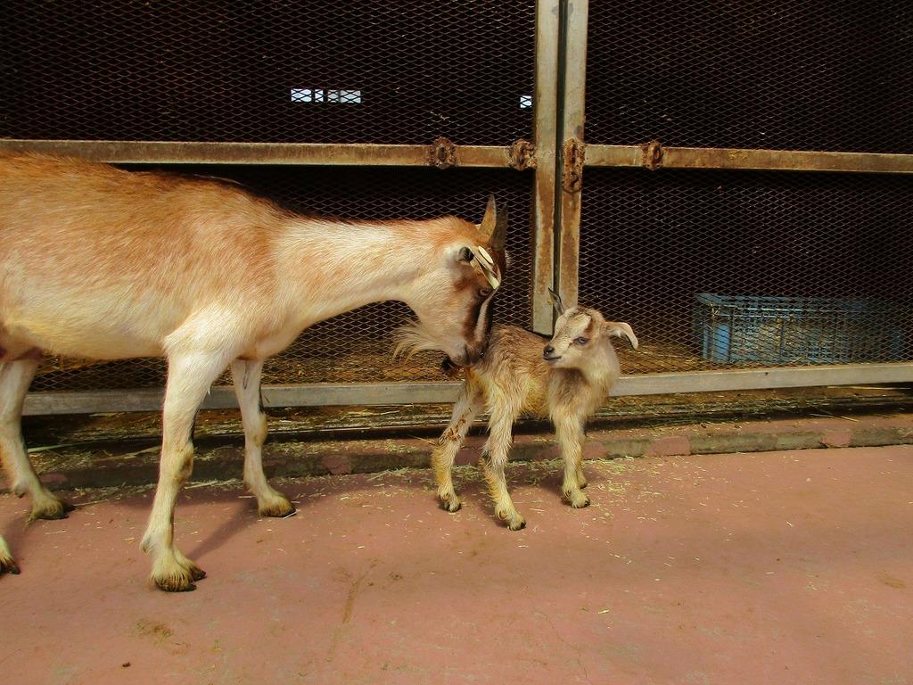 いつもお母さんヤギが優しく見守っています。