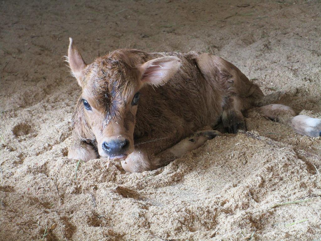 ジャージー種の『ちあき』生まれて間もない時に撮った写真。元気に育ってね~♪