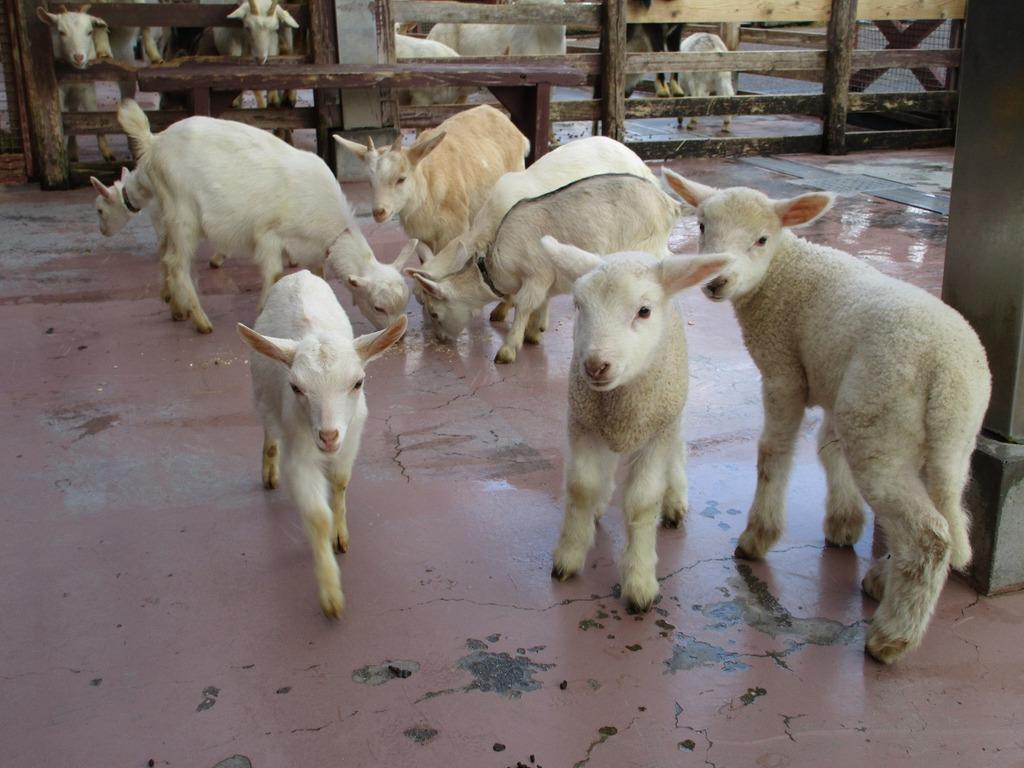 小さなヤギやひつじたちで「動物ふれあい広場」に、ぜひ遊びに来て下さいね~♪