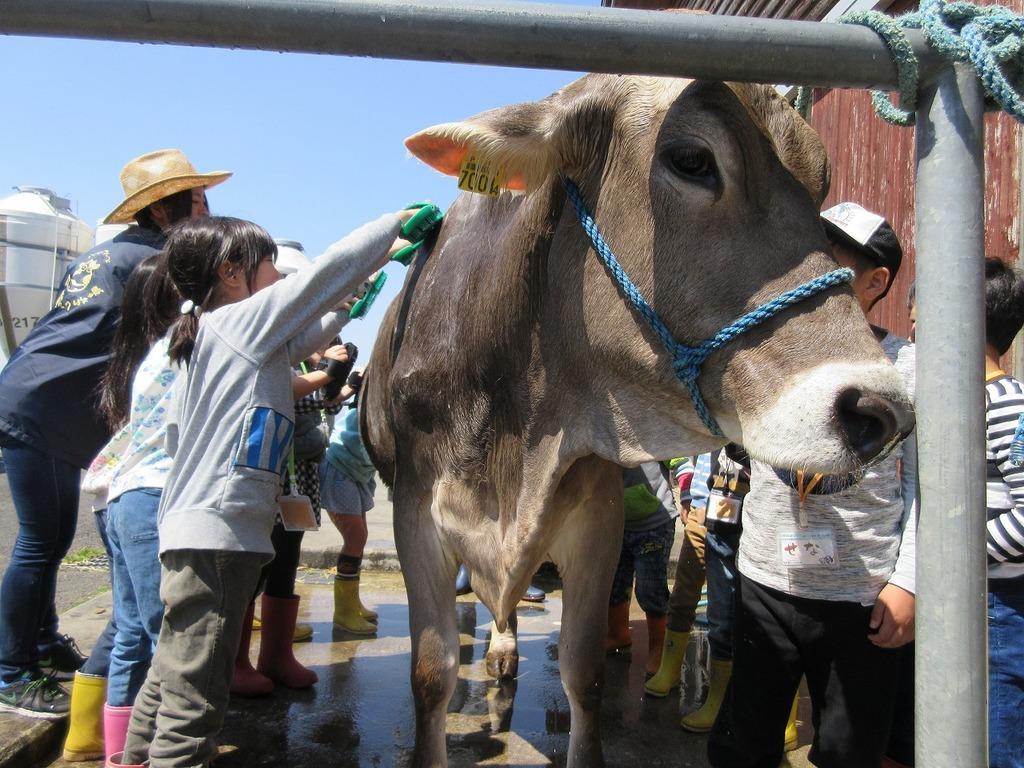 牛さんのお世話体験(※2016年撮影)