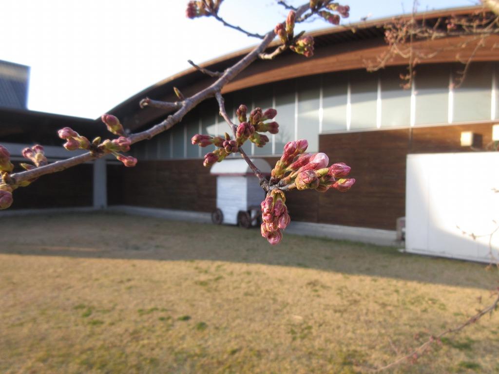 ピンク色の蕾が枝まで染めているように見えますよ♪