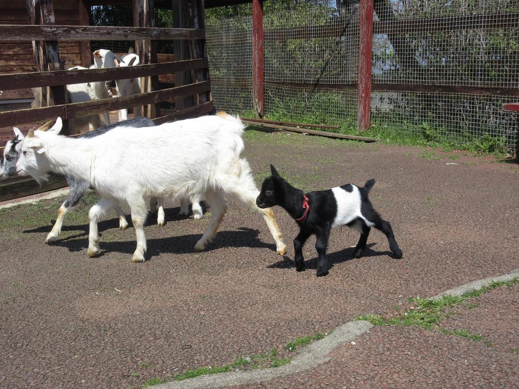お母さんヤギやお友達と一緒に走り回っていましたよ♪