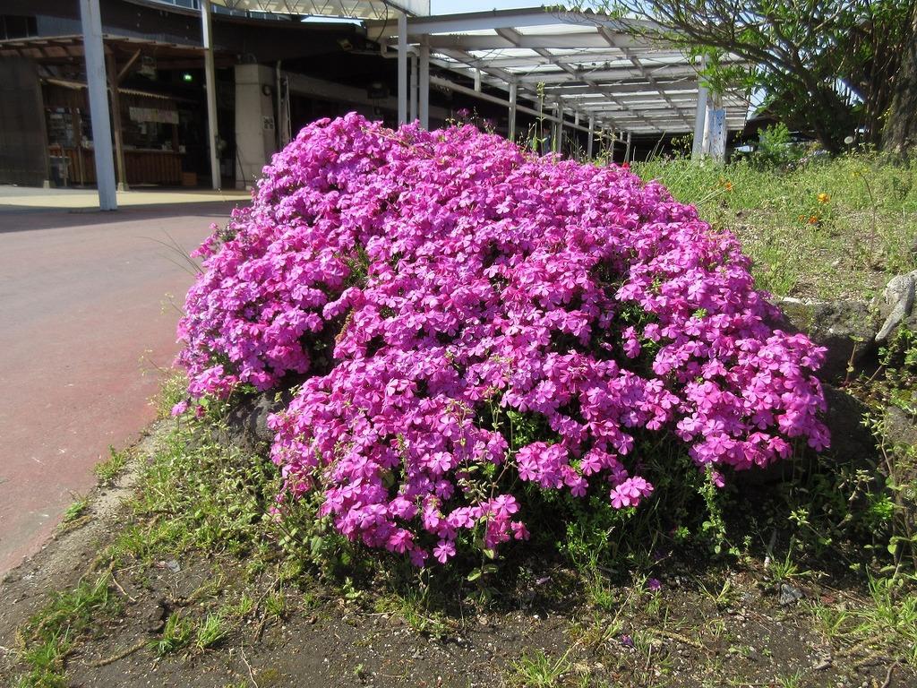 マザーズキッチンの花壇には可愛らしい芝桜❁
