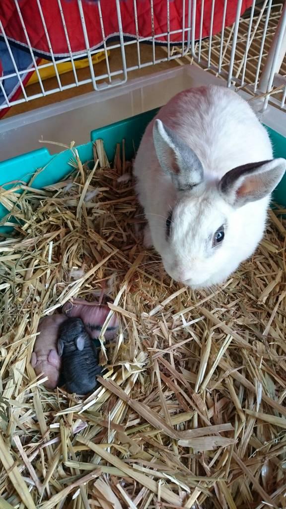 11月27日産まれの子ウサギは、まだ毛がありません。