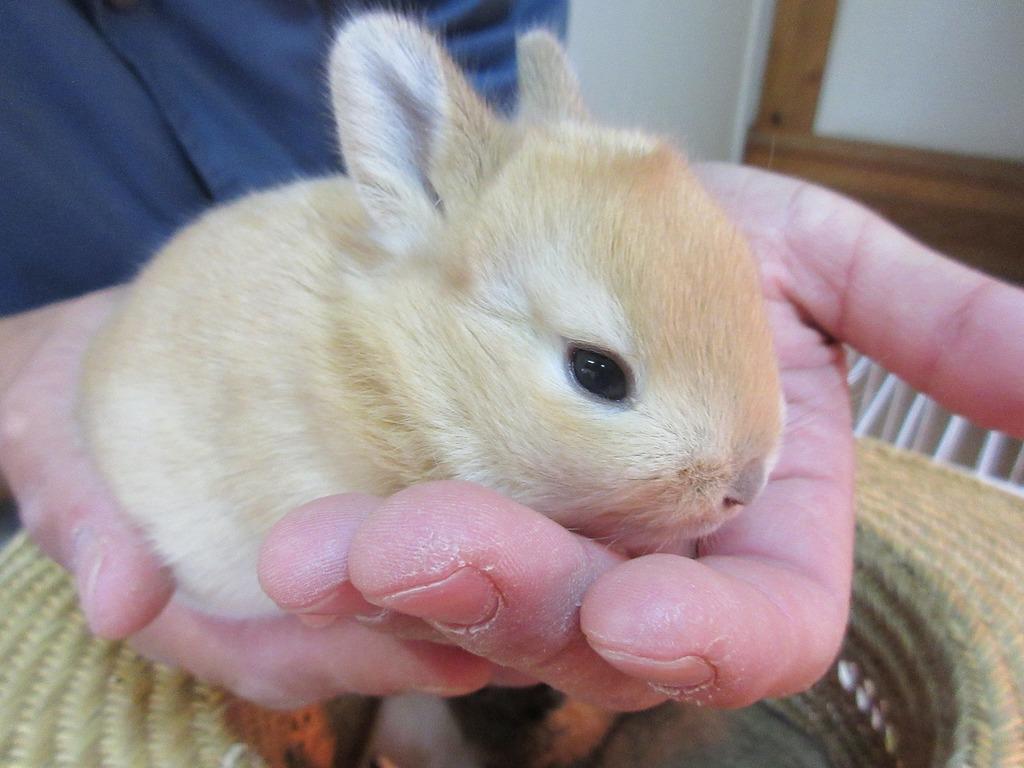1週間前には目が開いていなかった子ウサギたちはしっかりと目が開いています☆