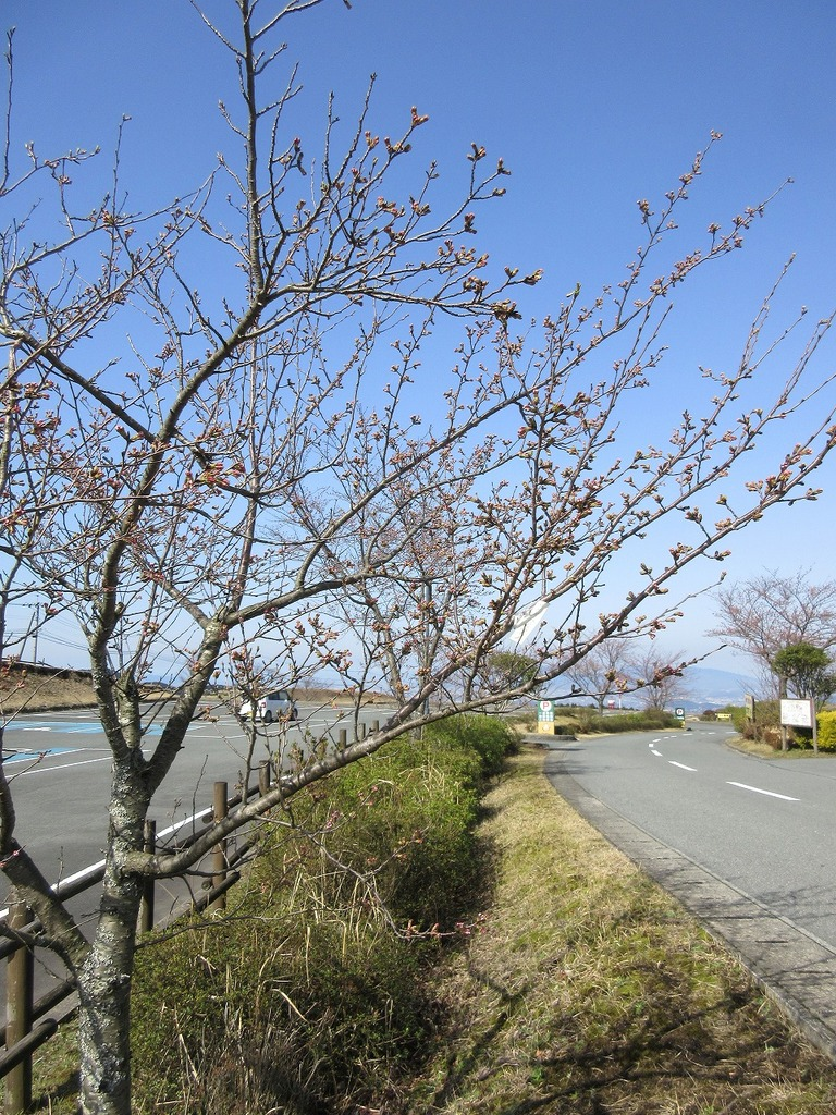 牧場の桜が満開になるのが待ち遠しくなります✿