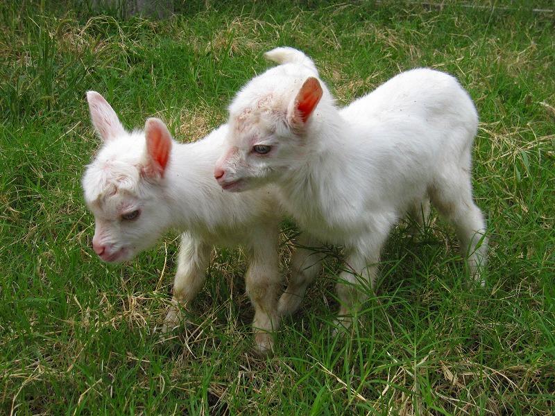 白くてふわふわ!可愛いヤギの赤ちゃんの高画質な画像まとめ