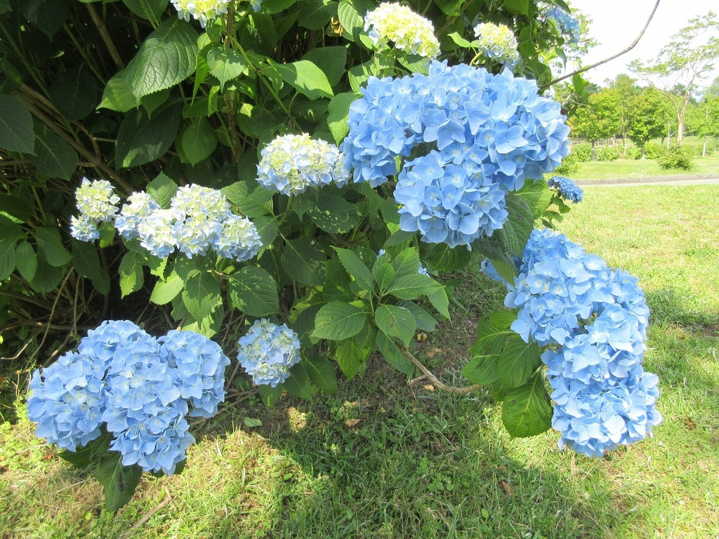 綺麗なブルーが芝の色でより引き立ちます