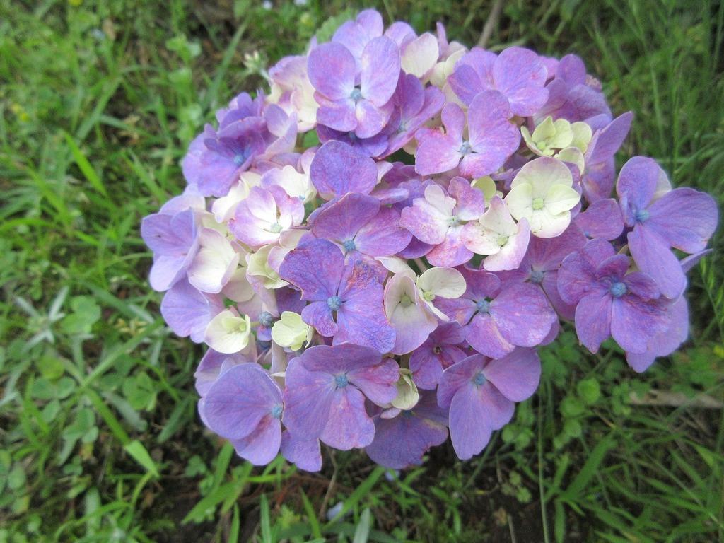 青色のあじさいの中に、ちょこんと紫色がかわいらしく咲いています。