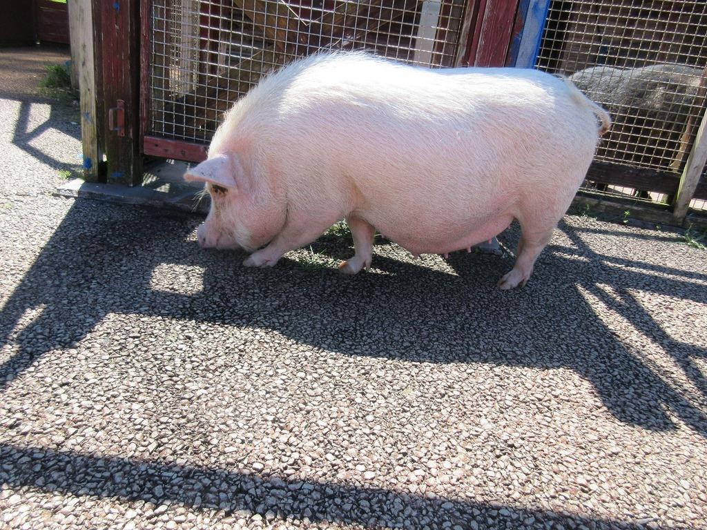 クンクンクン夏は探検がいっぱい☆ ミニ豚『スージーちゃん』
