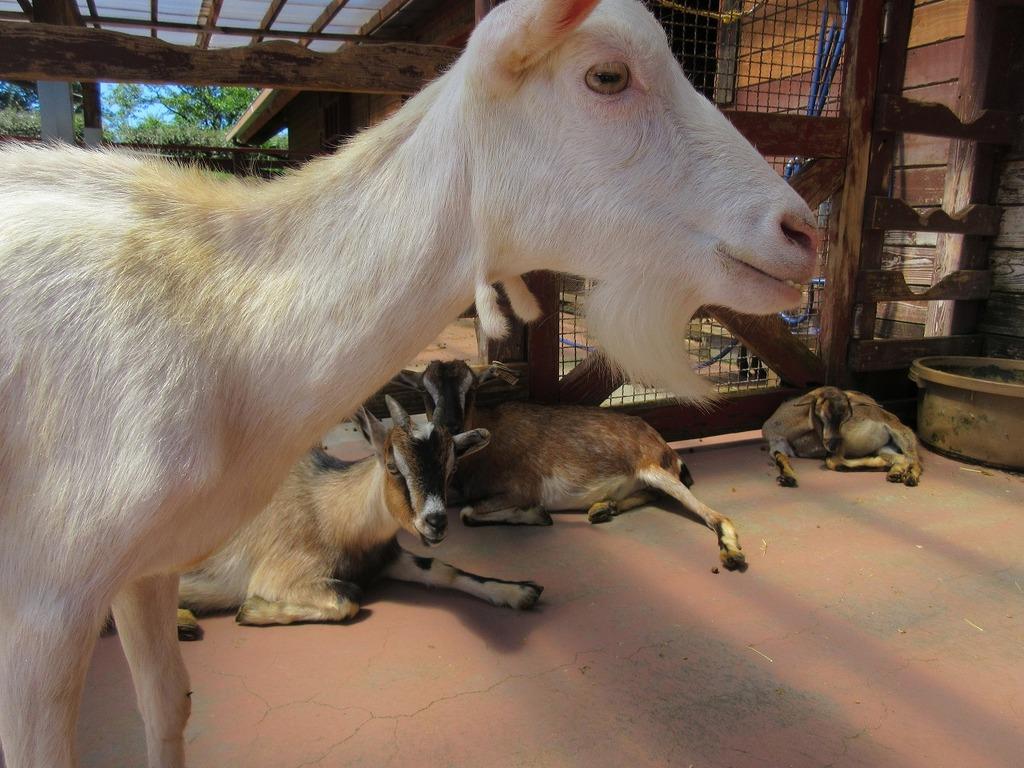 くつろいでいる3匹のヤギの撮影に試みたところアピール100%のヤギ登場★