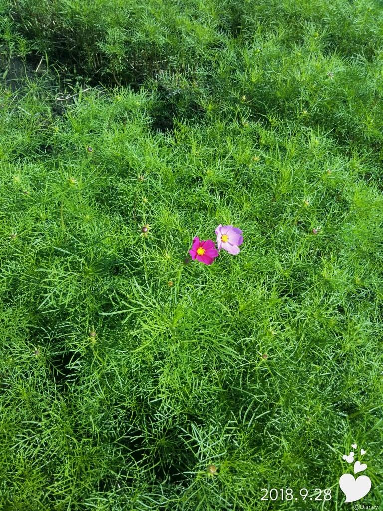 可愛らしいコスモスが少しずつ開花し始めました✿