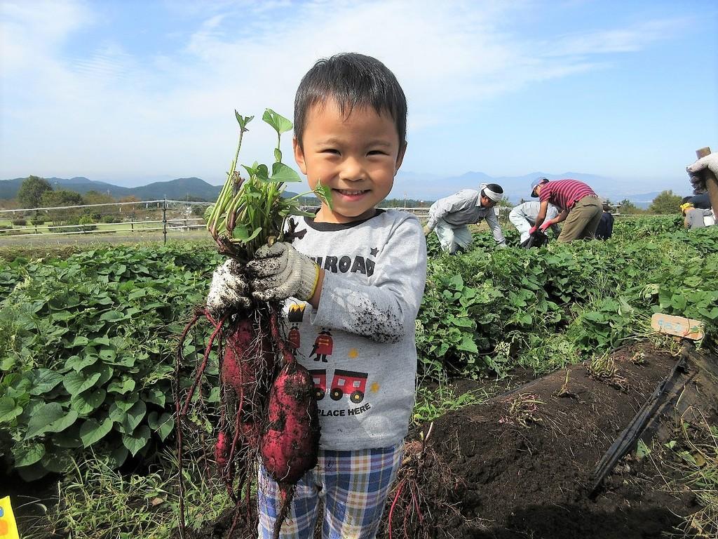 秋の収穫体験は、サツマイモと里芋