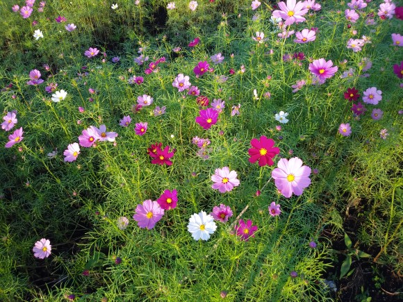 今年は少し背の低いコスモスたちですが、可愛らしいお花たちです★