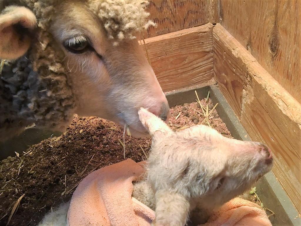 生まれて間もない時に、ママ羊は優しい眼差しで見守っています❤