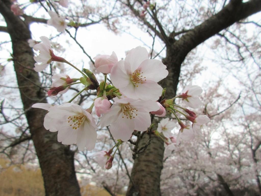 桜がたくさん寄り添いながら可愛らしく咲いていますよ★