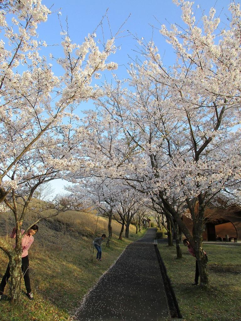 桜に紛れてひょっこりはん⁉