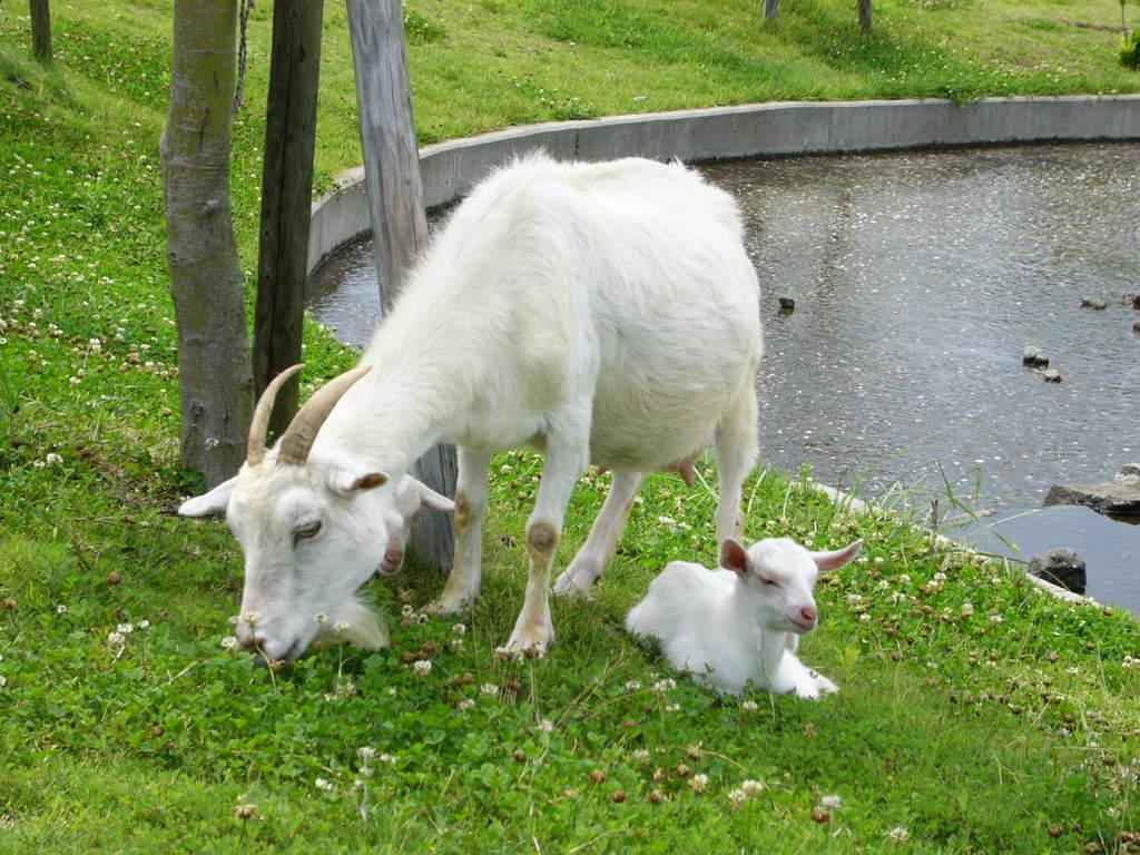 お母さんの近くだと、子ヤギも安心するみたい。