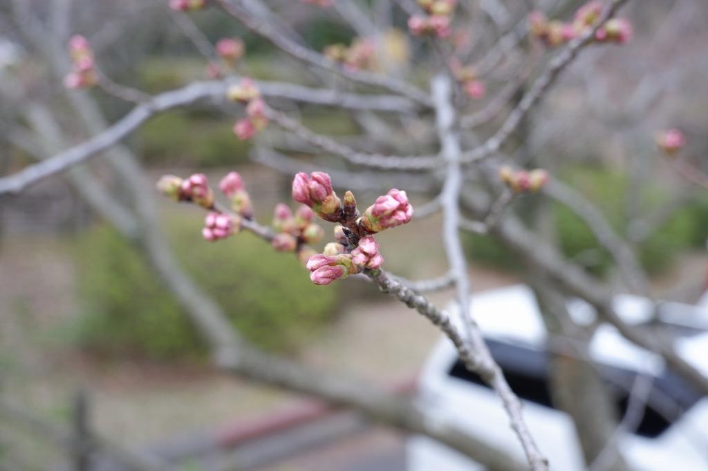 場内の駐車場にある桜の木にはピンクになった蕾がいっぱいです★