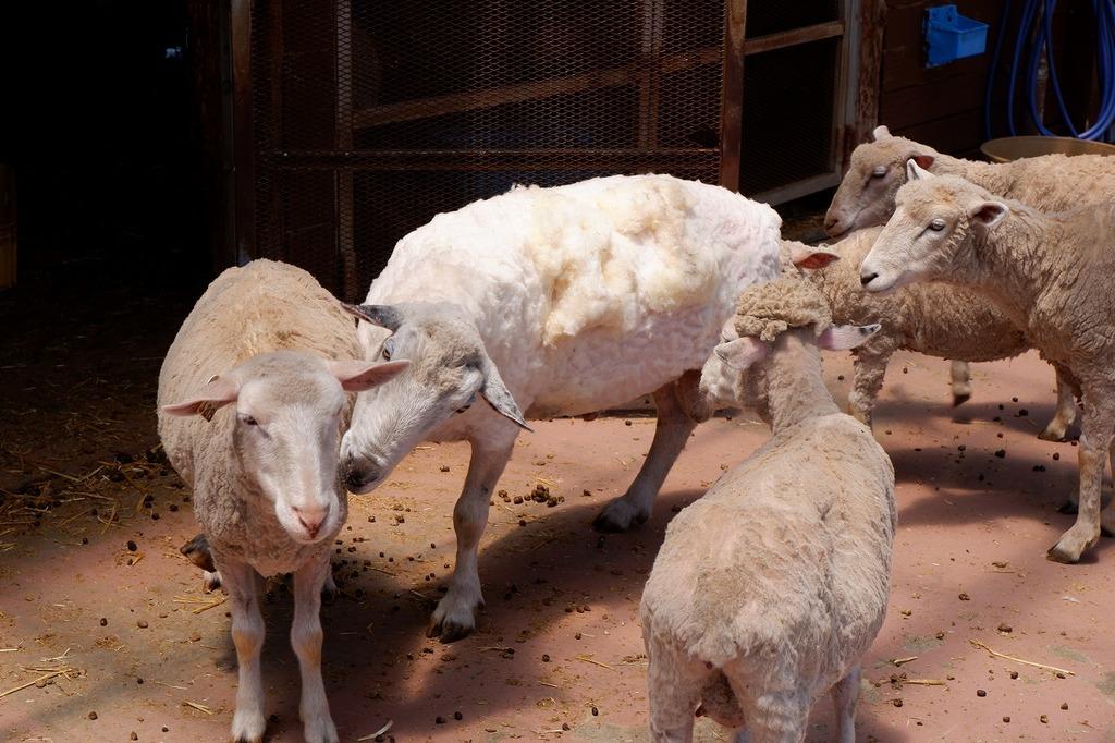 名前が入った羊にほかのヒツジは興味津々♬