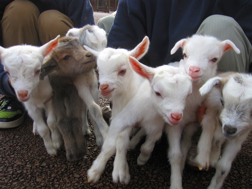 七匹の子ヤギたち。