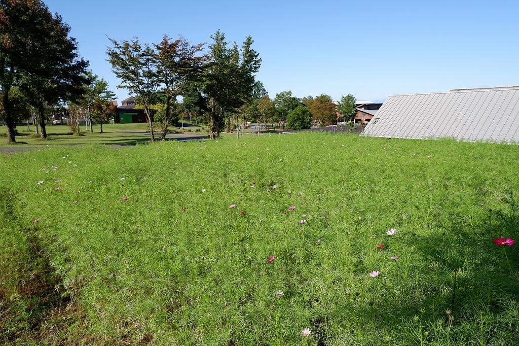 羊の放牧場前のコスモス畑☆