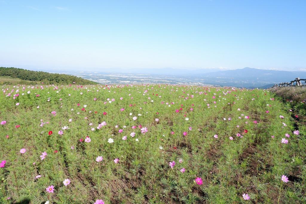 みはらしの丘のコスモス畑