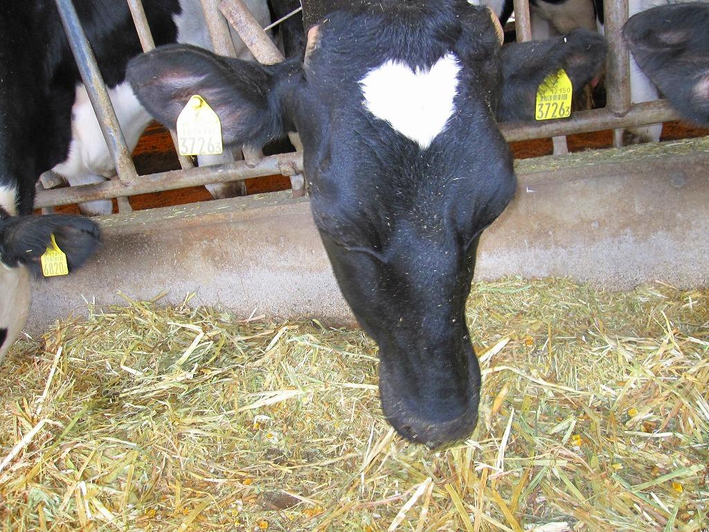 こちらがお母さん牛ツノちゃん♪出産は4度目のベテランお母さん牛☆