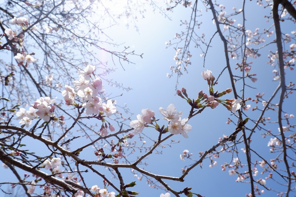 グラウンドゴルフ場の桜