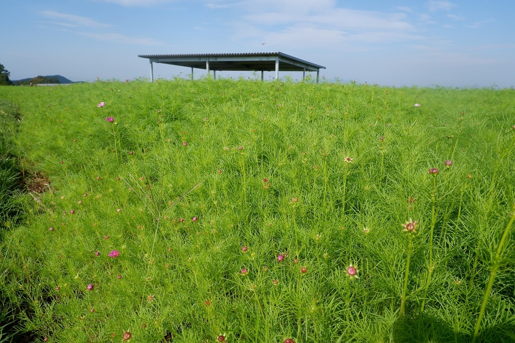 放牧場前のコスモスは蕾が色づいているの見えますよ~