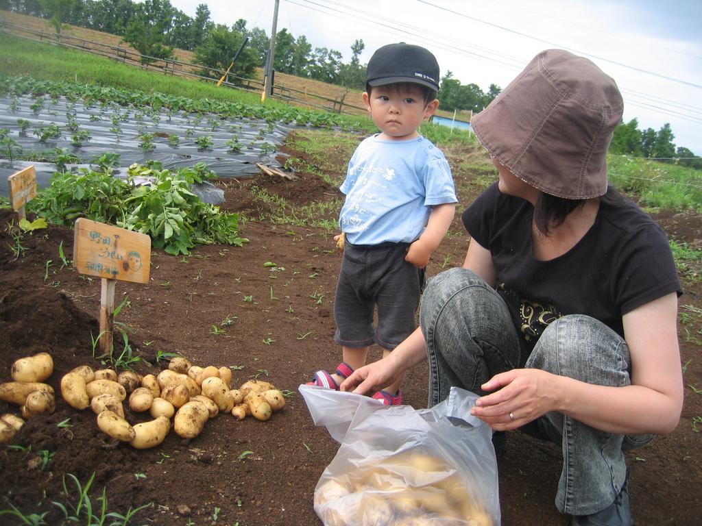 モーモーくらぶの会員様イベントとして、じゃがいもを収穫しました。