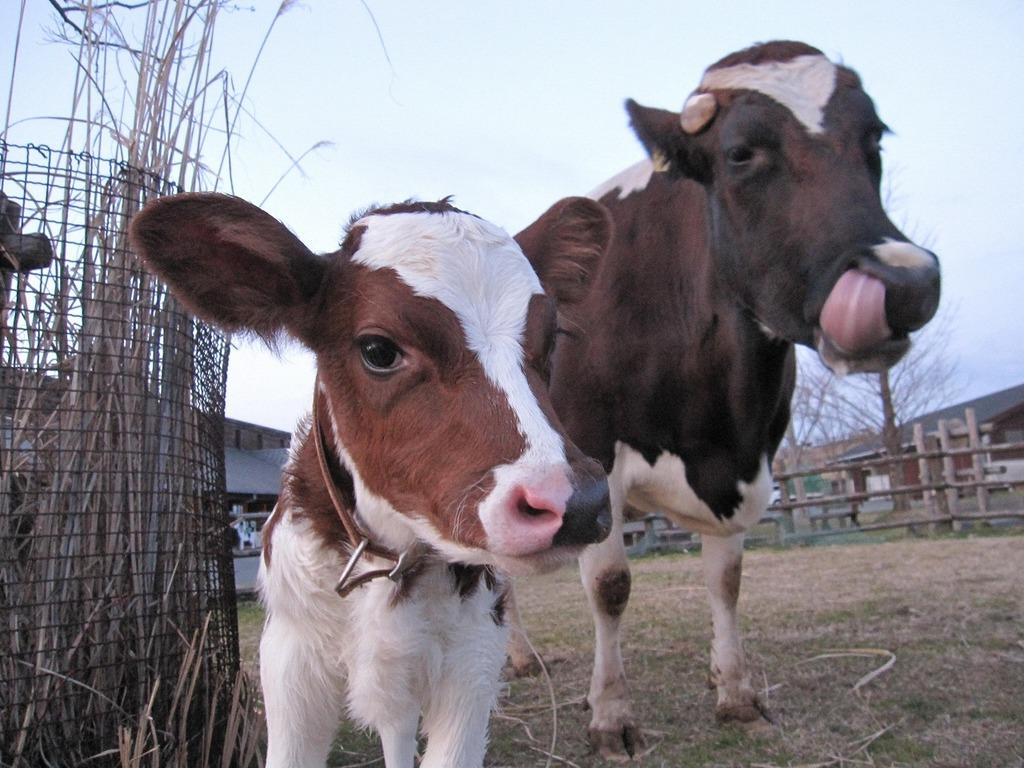 通常よりちょっぴり小柄な赤ちゃん牛です☆