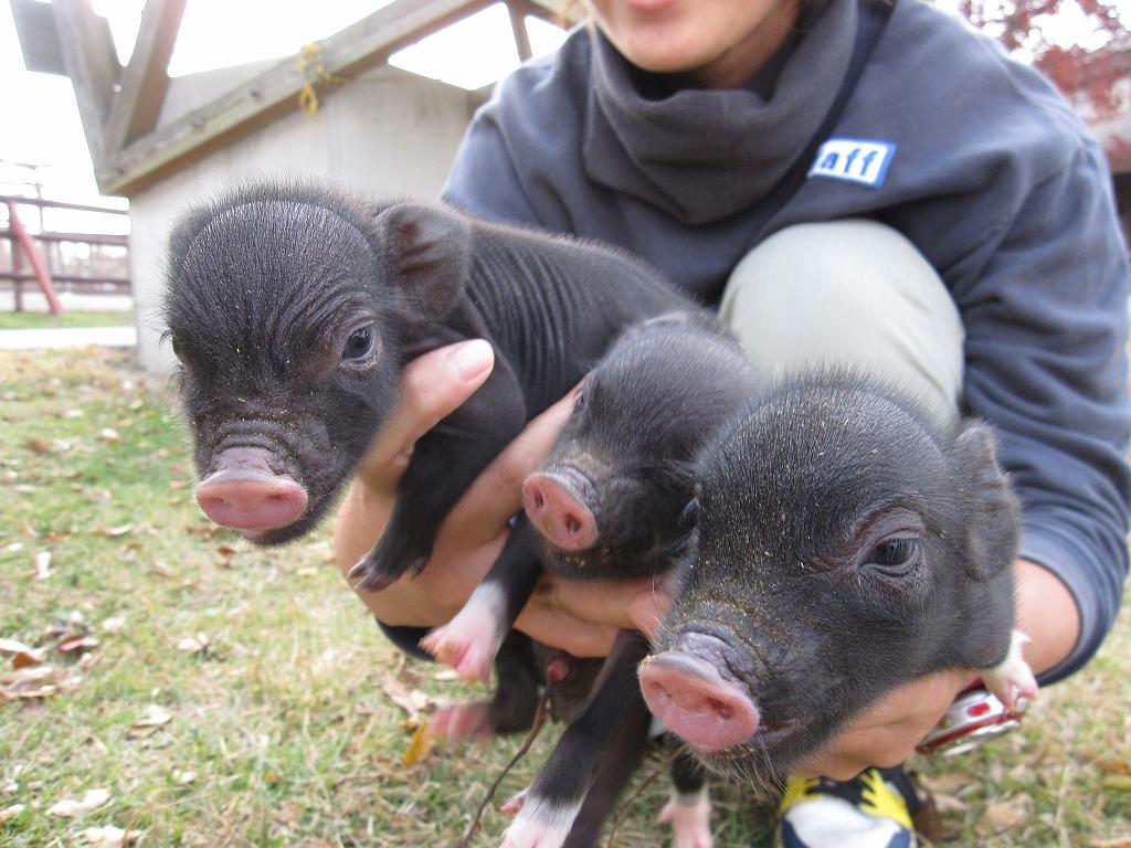 ぶ~~~~ぅ またも、3匹の子豚誕生☆