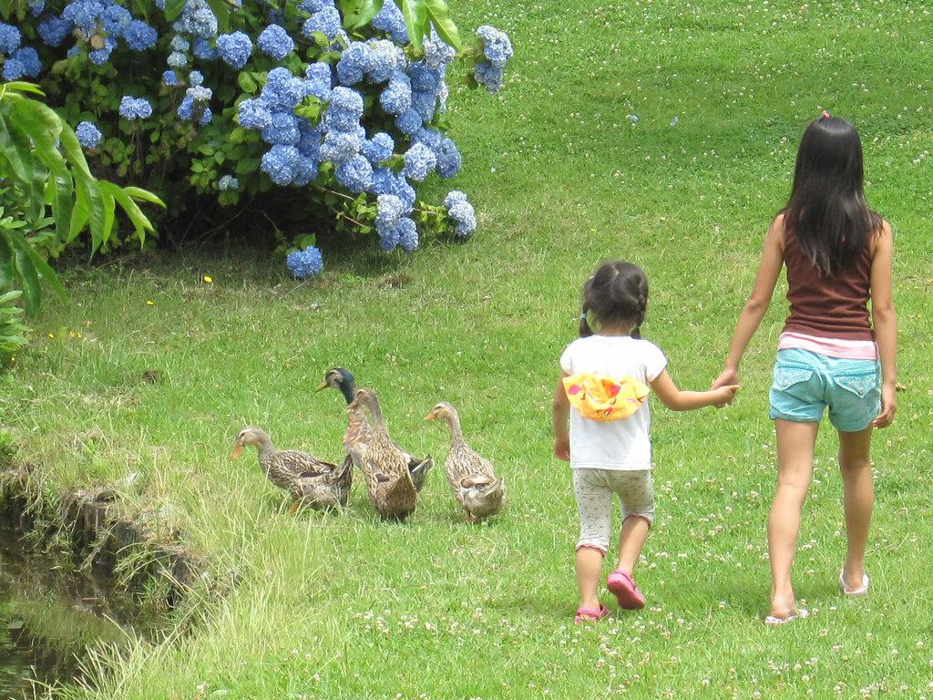 カモの散歩。じゃぶじゃぶ池のほとりに咲くあじさいがきれいな季節に撮影しました。