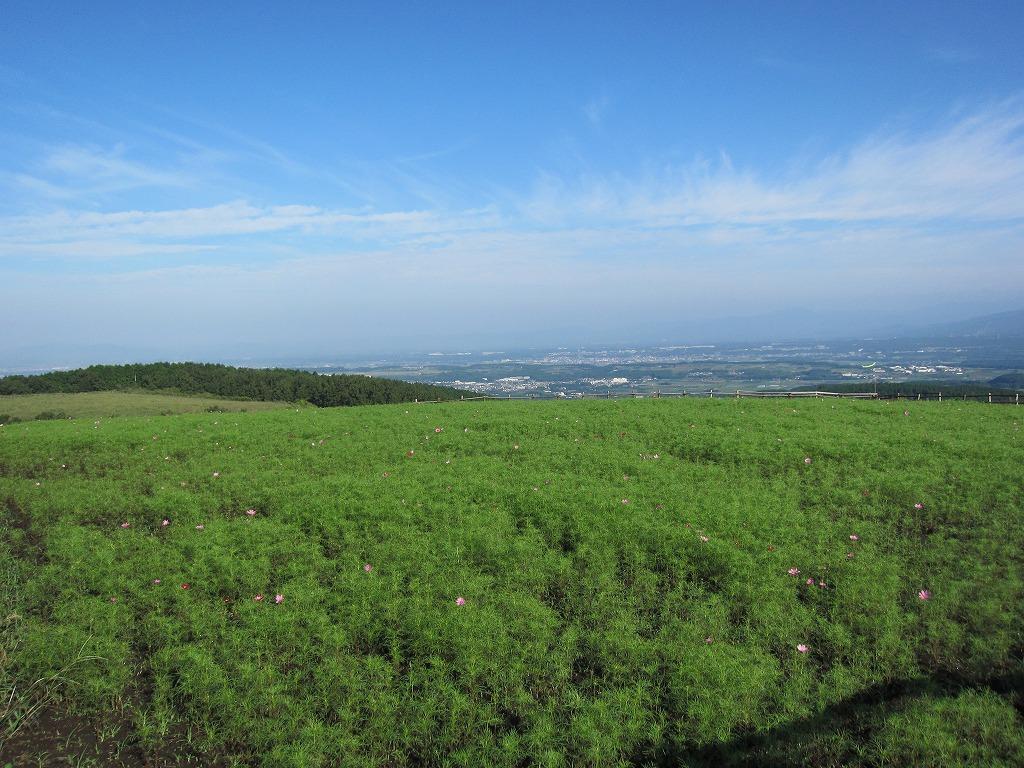 まだまだな方のコスモス畑☆こちらは、10月中旬以降満開予定☆