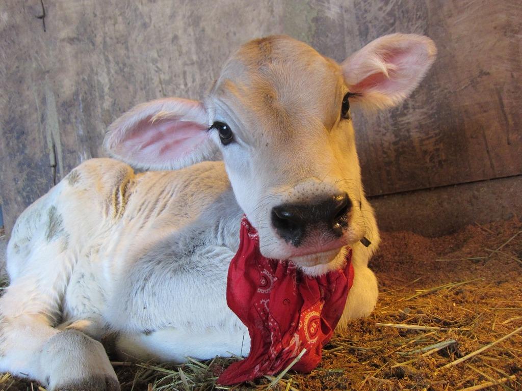 ブラウンスイスの子牛☆
