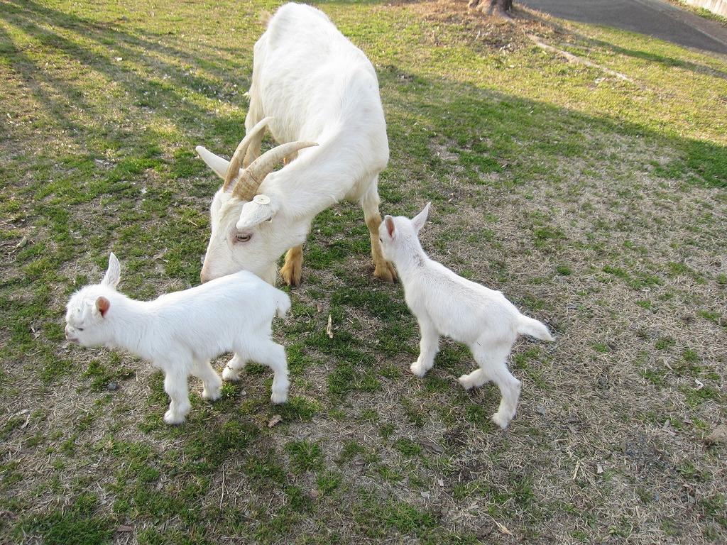 双子のお母さんヤギは、せっせと面倒をみていたよ~