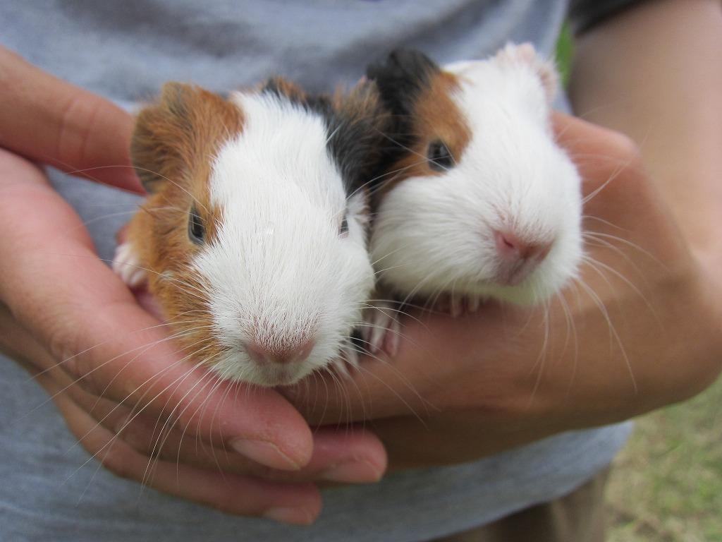 可愛い双子のモルモットが生まれました♪
