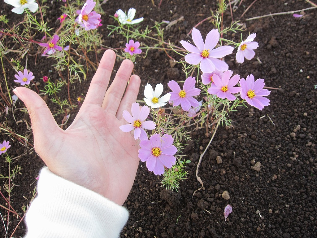 こんなに小さいコスモスも咲いていましたよ!