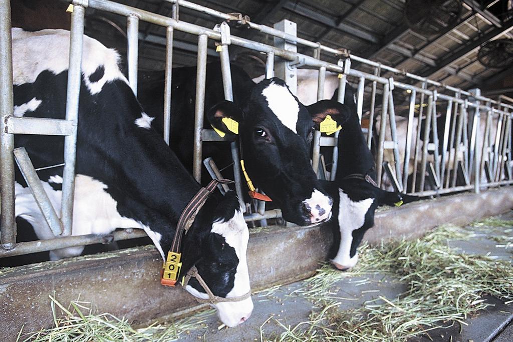 牛舎の中にいるホルスタイン、牧草をもりもり食べています。