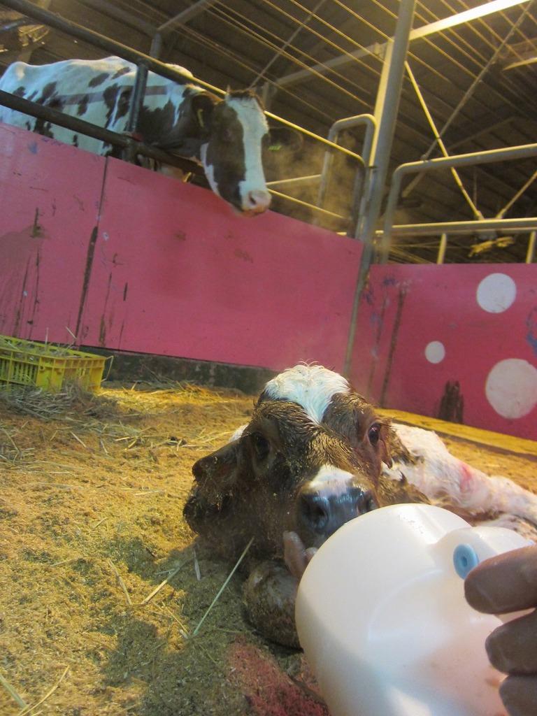 母牛に見守られながら、初めてのミルクを飲んでいます。初乳には、栄養と愛情がたくさん♪