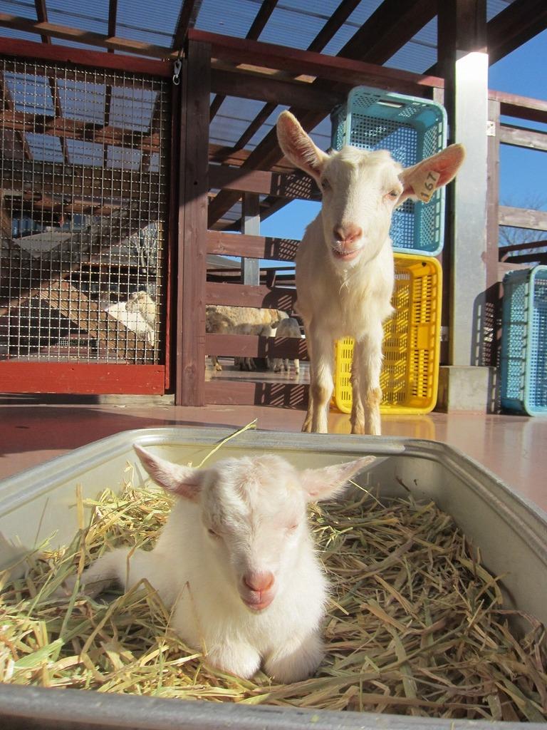 ヤギの赤ちゃんが産まれました!可愛い女の子です♪
